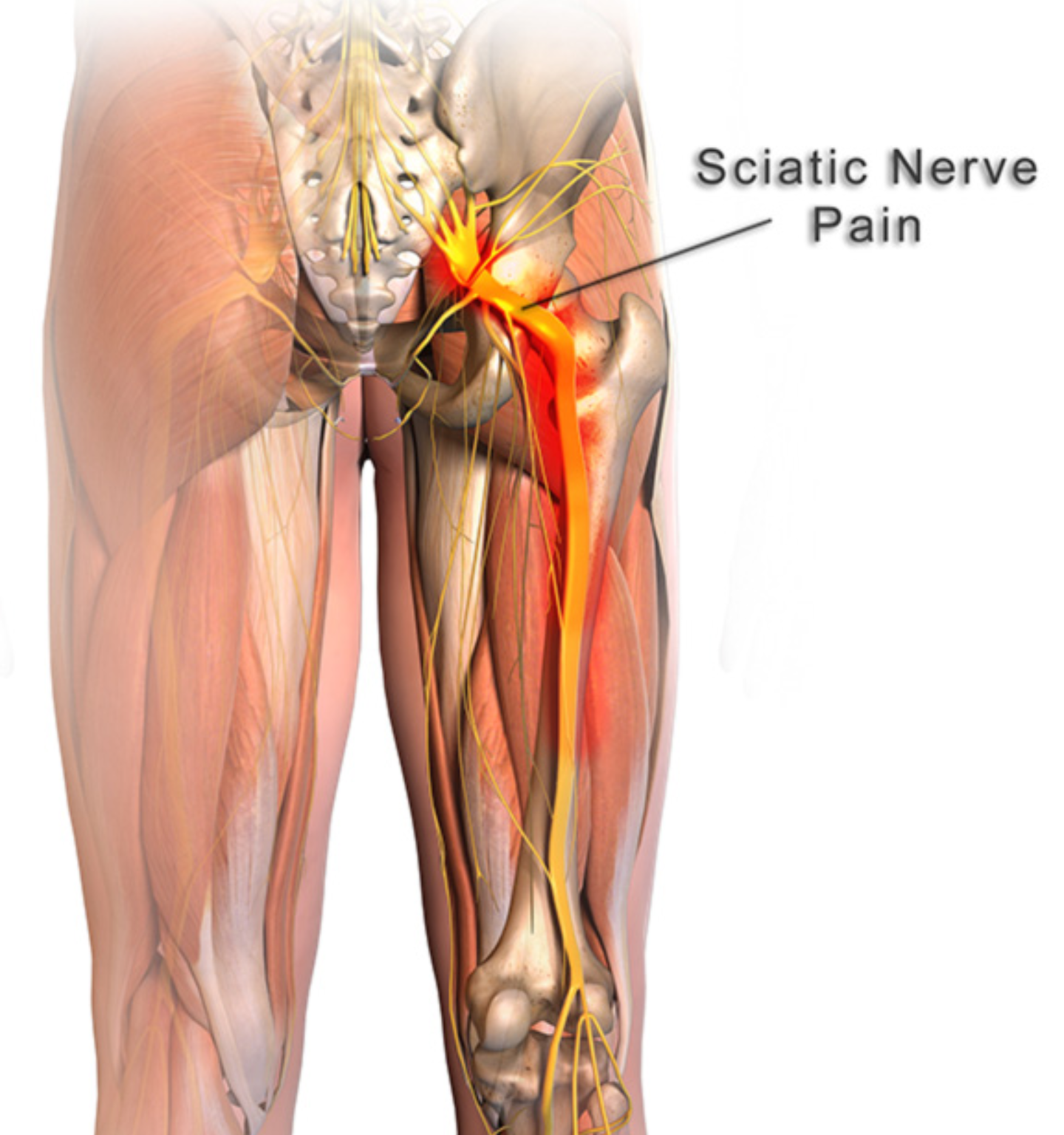 Diagram Of Sciatic Nerve In Body Trusted Wiring Diagram